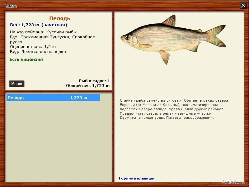 пелядь рыба на что клюет